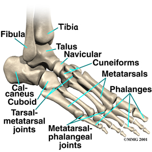 Foot Anatomy - Bones