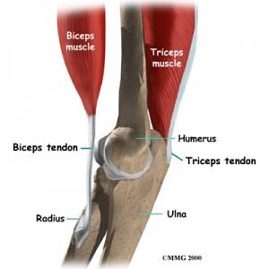 Tricep Tendon