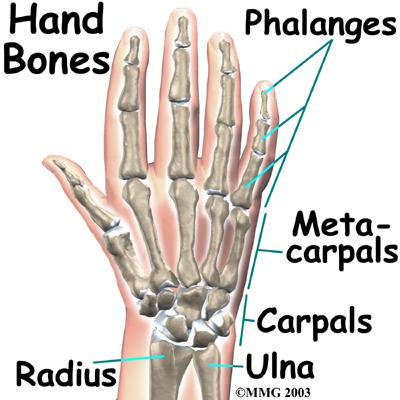 Hand Anatomy Bones